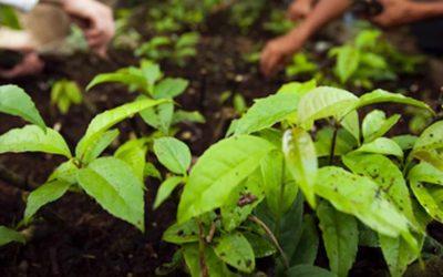 AMATEA Guayusa Tea Extract – Applied Food Sciences Caffeine Leaf?