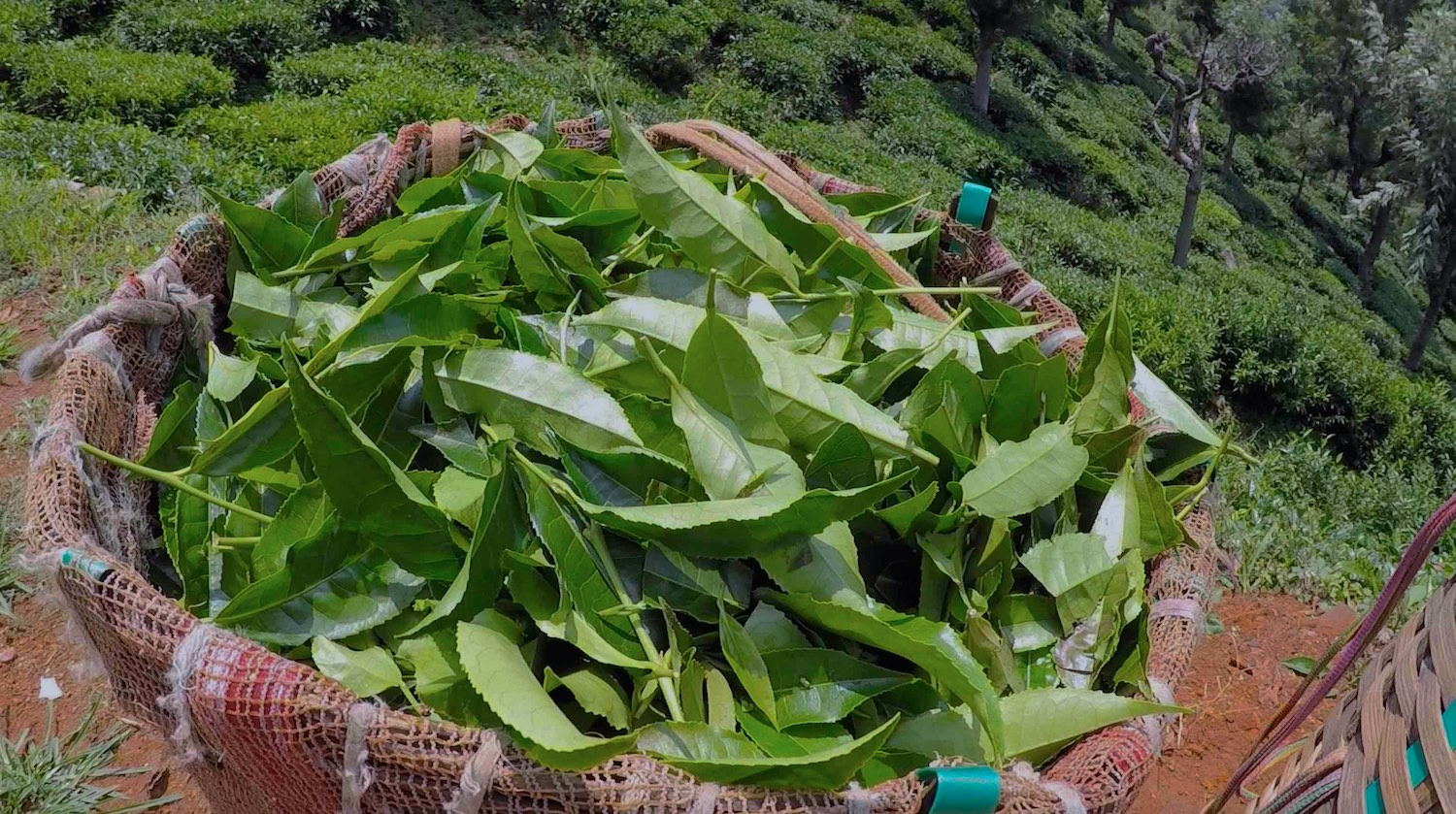 Green tea harvested. © Applied Food Sciences, Inc.