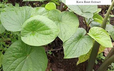 New Kava Extract Focused on Addressing Safety Concerns