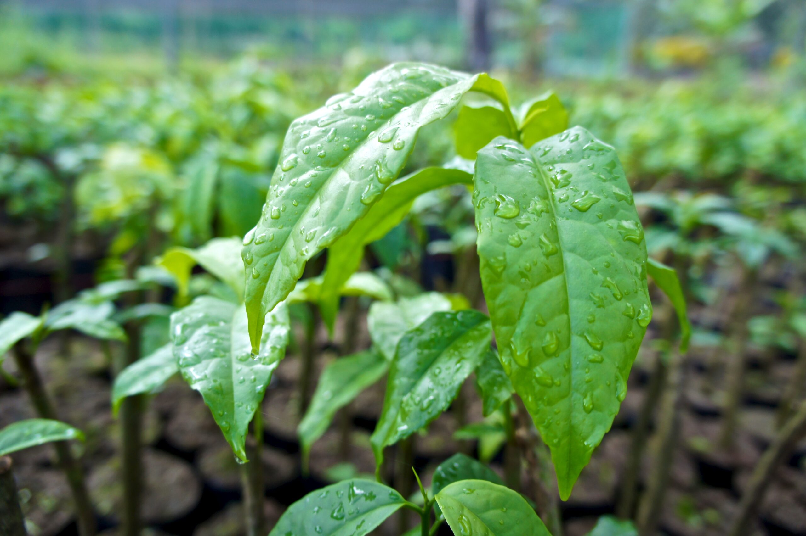 Guayusa before being transplanted to their final destination. © Applied Food Sciences, Inc.