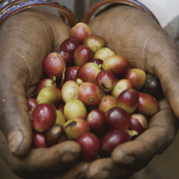 Coffee Cherries in hand. © Applied Food Sciences, Inc.