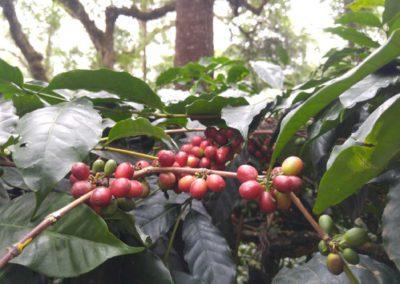 Coffee cherries. © Applied Food Sciences. Inc.