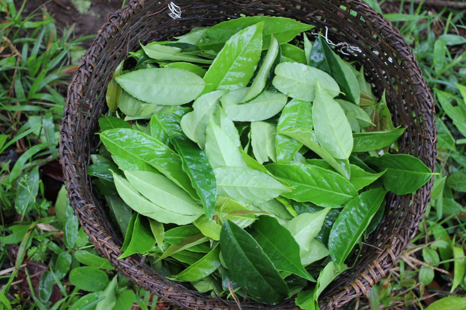 Guayusa leaves harvested. © Applied Food Sciences, Inc.