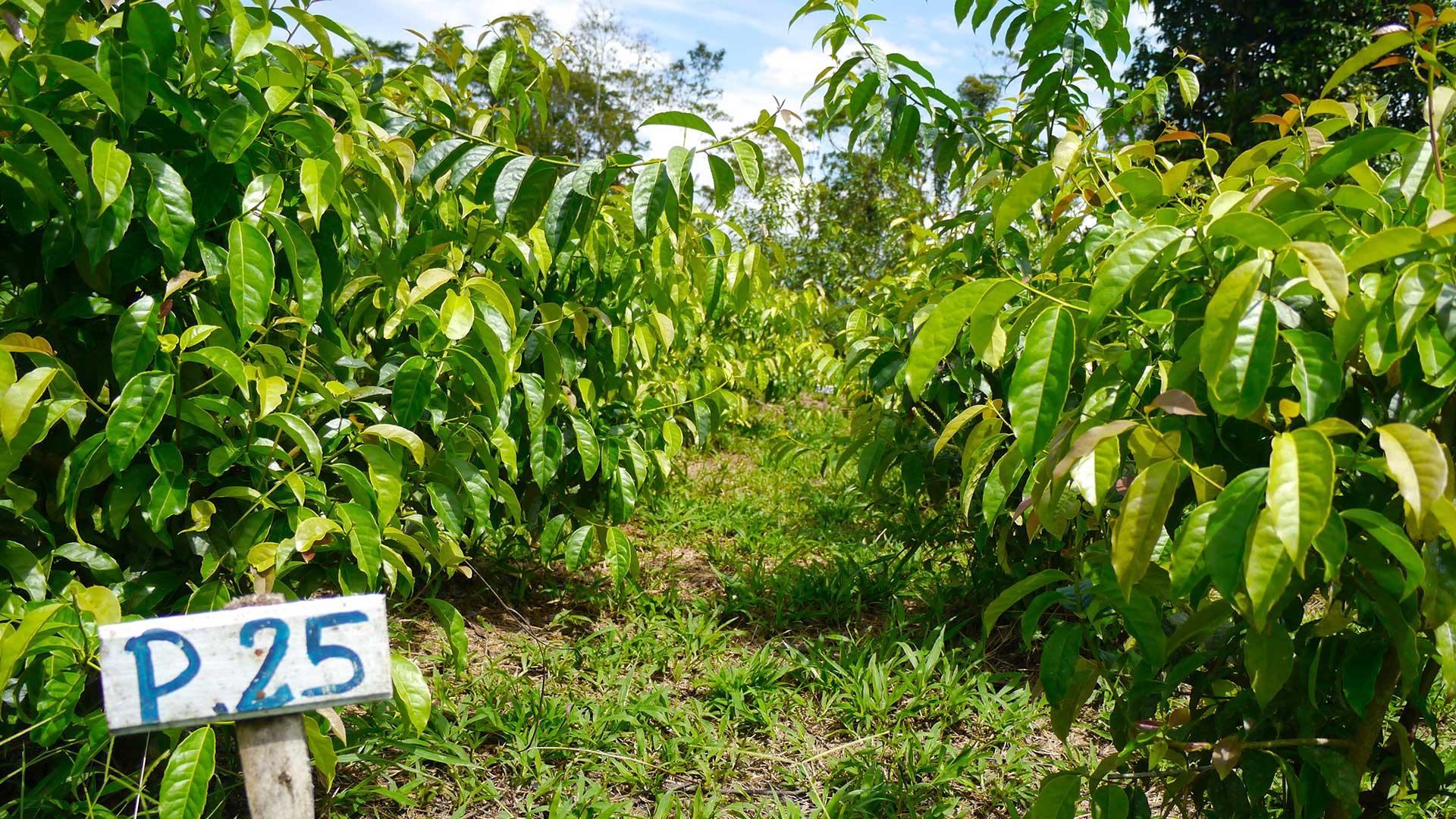 Guayusa field. © Applied Food Sciences, Inc.