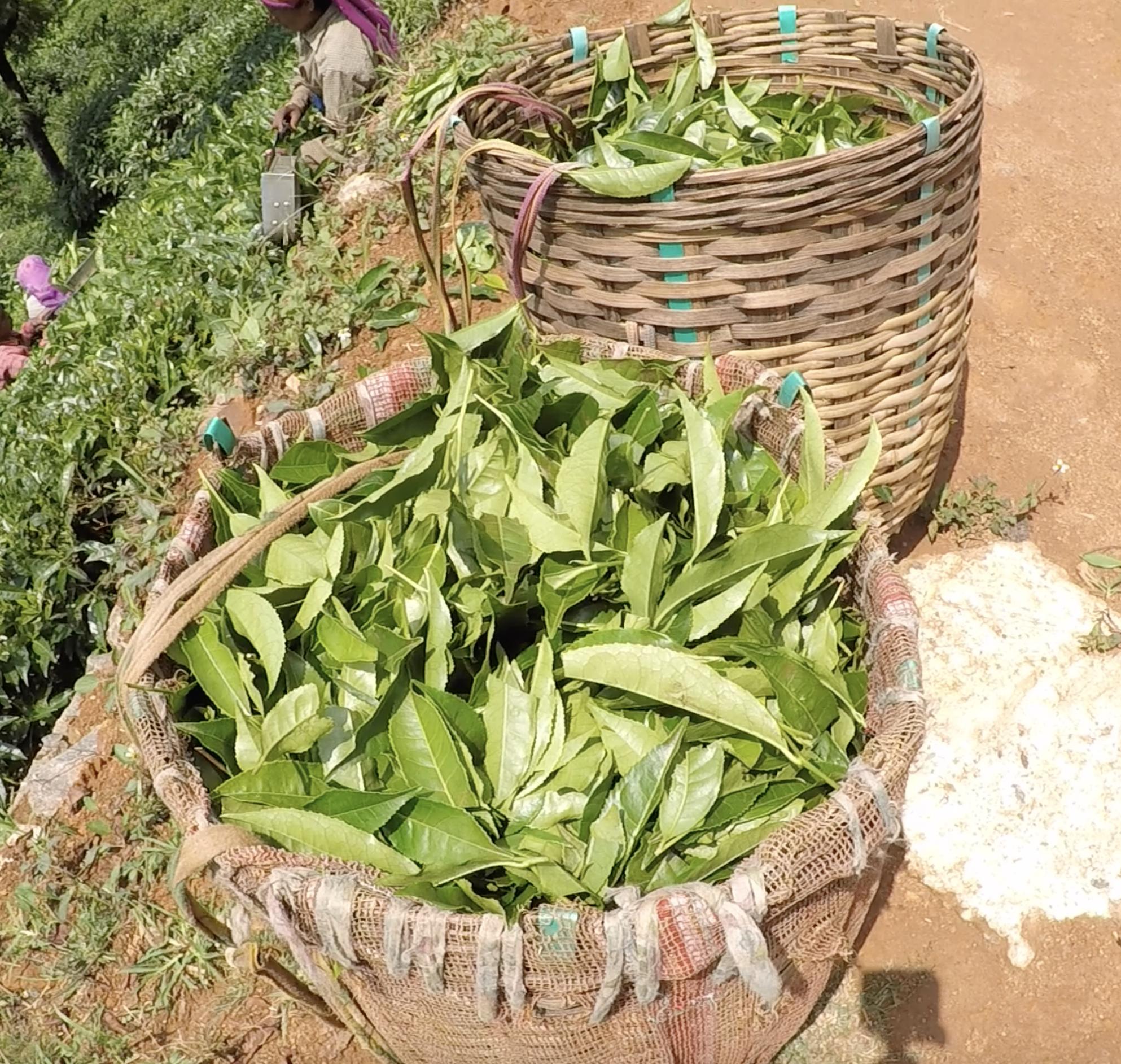 Harvested green tea leaves. © Applied Food Sciences, Inc.