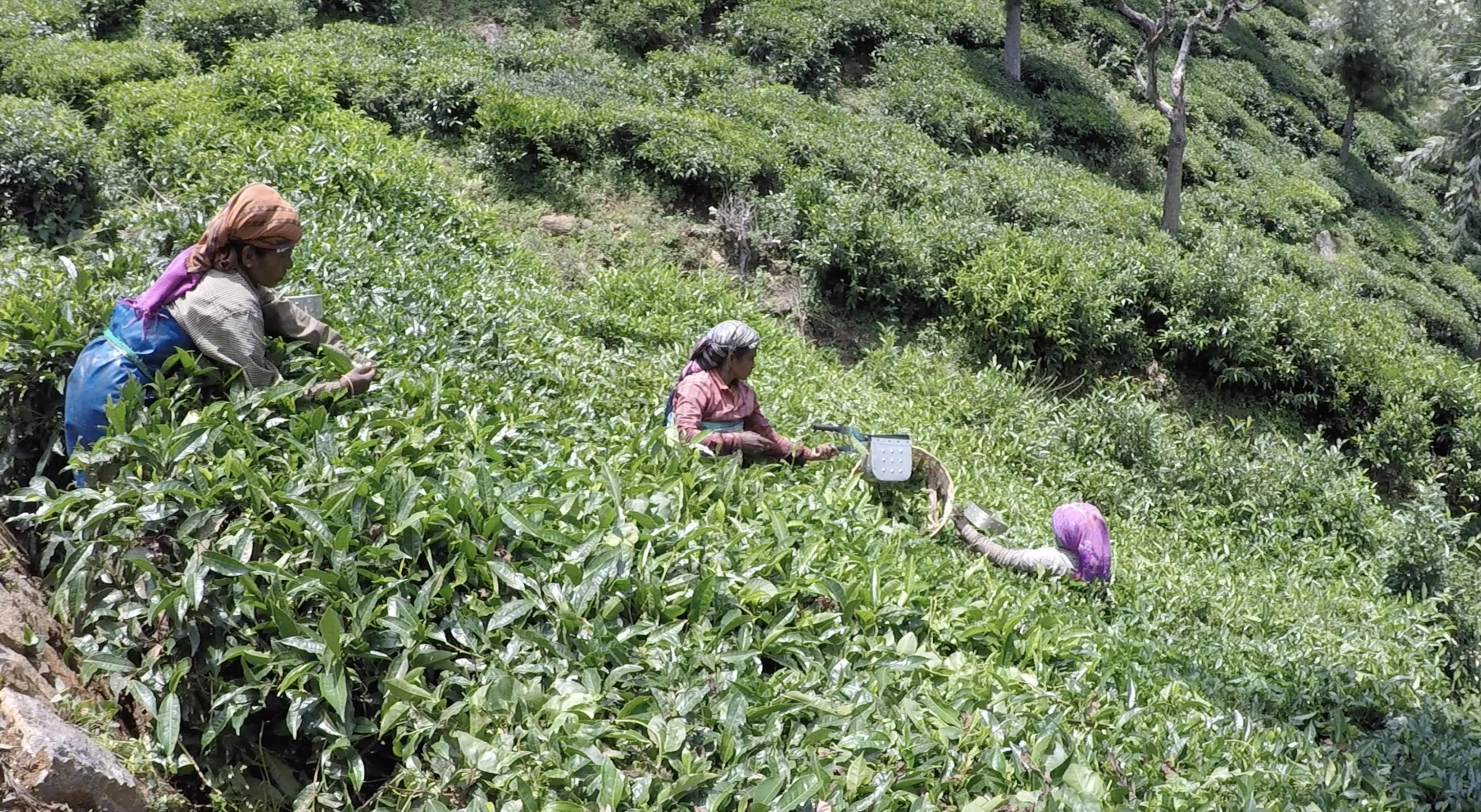 Farmers harvesting tea leaves. © Applied Food Sciences, Inc.
