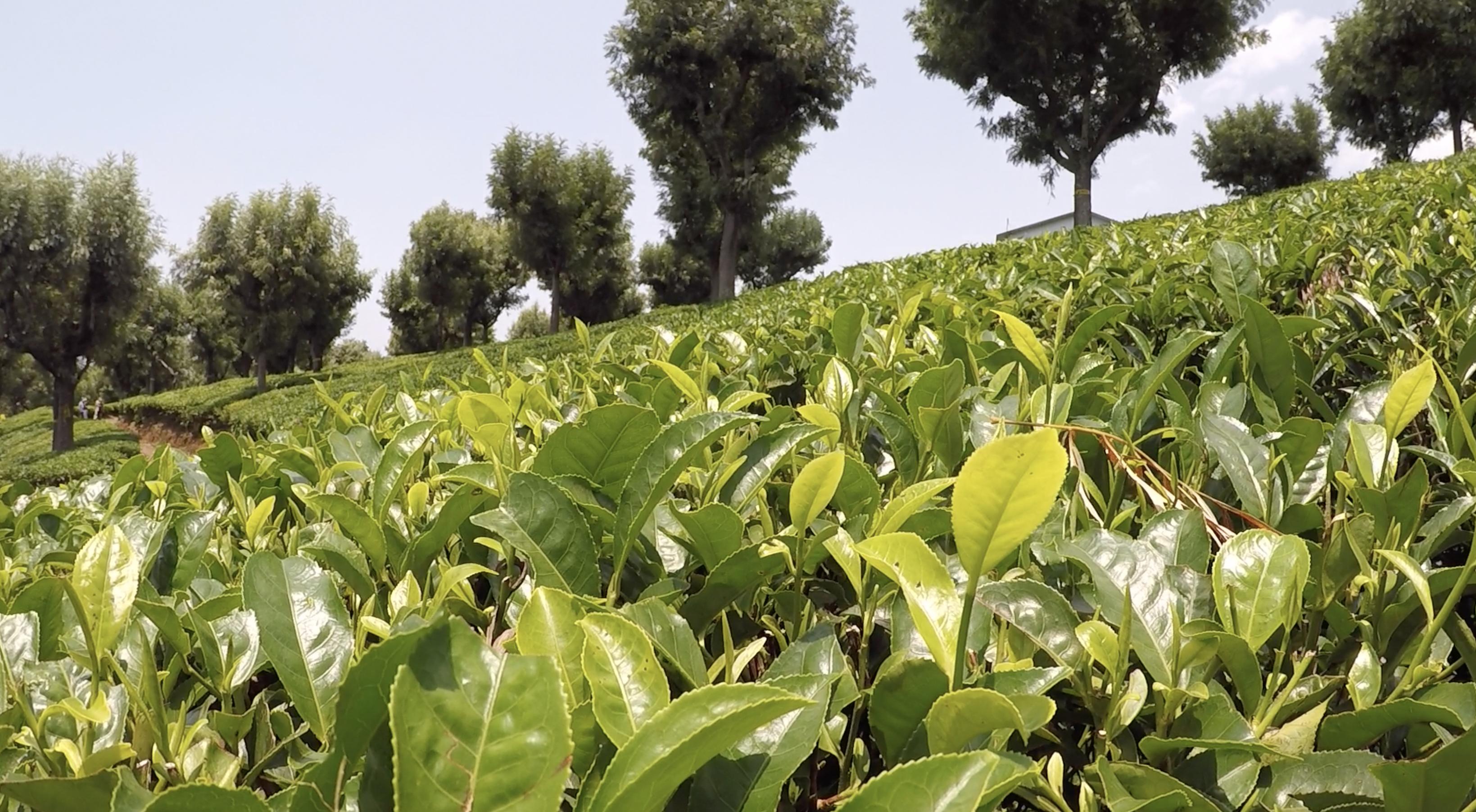 Tea Farm crops. © Applied Food Sciences, Inc.