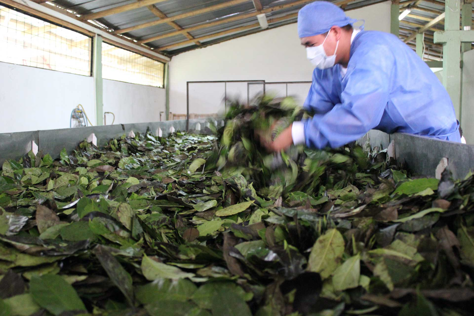 Fluffing Guayusa leaves to remove moister. © Applied Food Sciences, Inc.