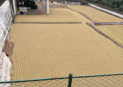 Green coffee beans drying process. © Applied Food Sciences, Inc.