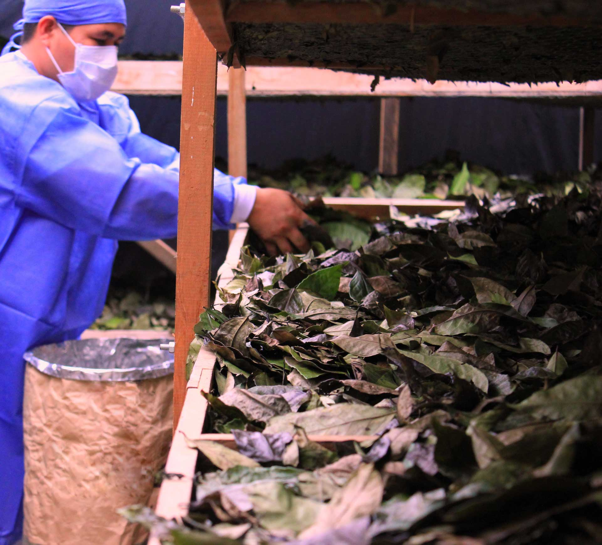 Placing Guayusa leaves on a drying rack. © Applied Food Sciences. Inc.