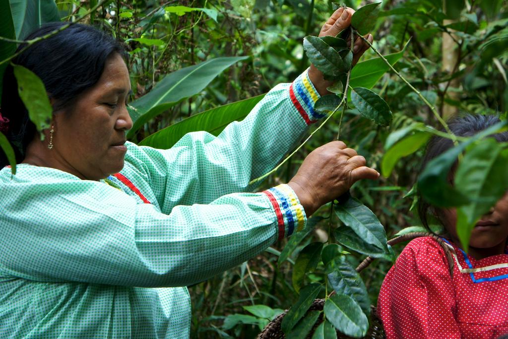 Farmers harvesting Guayusa leaves. © Applied Food Sciences, Inc.