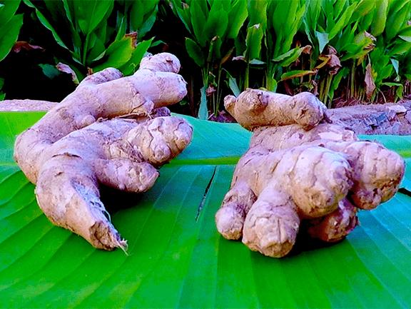 Organic Ginger Farm